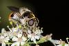 Cheilosia illustrata ♀ (iwanvh) Tags: arthropoda cheilosiacaerulescens cheilosiaillustrata diptera fauna insecta rnncombelavaux art artist biodiversity environement iwan iwanvh naturalist naturaliste nature photographe photographer stage syrphidae vanhoogmoed wwwiwanvhcom ♀