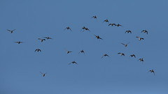 Ducks !!! (carlo612001) Tags: wildlife wild birds bird duck ducks sky group wings