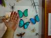 DSC08974.jpg (wjvdv) Tags: suriname vlindertuin lelydorp neotropicalbutterflypark wanica sr