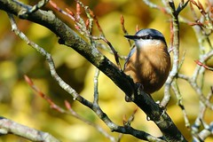 Nuthatch (Ady G.) Tags: passerine bird 1dmarkiv 1d4 sittidae canon nuthatch 500f4 garden wildlife light