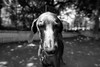 a clockwork orange (VanaTulsi) Tags: dog weimaraner weim blueweimaraner vanatulsi blueweim