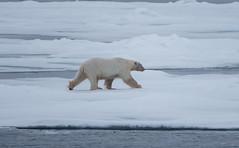 DSC_3523 (stacyjohnmack) Tags: july23 polarbear artic