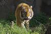undeniable beautiful (ucumari photography) Tags: sc animal cat mammal big south tiger columbia carolina april riverbankszoo 2015 specanimal ucumariphotography dsc1022