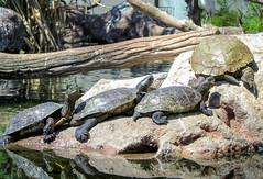 Turtles at L'Oceanografic (Hana Videen) Tags: valencia spain turtle valència loceanografic comunidadvalenciana cityofartsandsciences