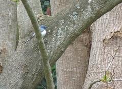 Myiagra rubecula 3 (barryaceae) Tags: new bird birds wales south australian australia aves flycatcher australianbirds taree leaden rubecula myiagra ausbird ausbirds