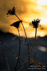 Backlit silhouette of a plant at sunset (www.xavierfargas.com) Tags: life autumn sunset sky orange sun plant macro nature beautiful field silhouette closeup backlight sunrise season landscape gold stem flora colorful solitude silent background meadow dry scene calm dandelion pistil serene backlit pollen inspirational delicate botany fragile stalk tranquil spore backlighting blooming pollination taraxacumofficinale achicoria fragility