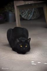 hunting (Marianna ) Tags: cats black cat blackcat eyes nero gattonero