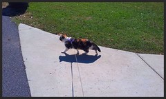 calico dreamin walking (stansvisions) Tags: catchycolors fun virginia cool calico waynesboro southriver maggiemay adifferentpointofview stansvisions