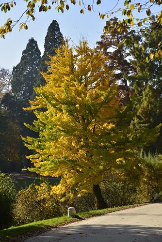 L'arbre aux feuilles dorées