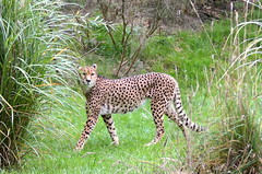 Cheetah - Chester Zoo (John_Nikon_D5000) Tags: zoo chester