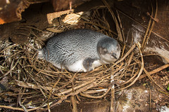 Little Blue Penguin nesting (Mike Wilson Photography) Tags: newzealand bird nest breeding bluepenguin bankspeninsulatrack