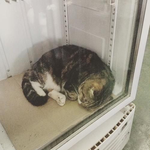 aqui é tão quente q o gato do restaurante dorme dentro da geladeira ligada #cat #kohphiphi #thailand #papayarestaurant