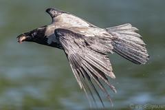 The Hooded Crow (eric-d at gmx.net) Tags: crow rabe corvuscoronecornix hoodedcrow rabenvogel nebelkrhe