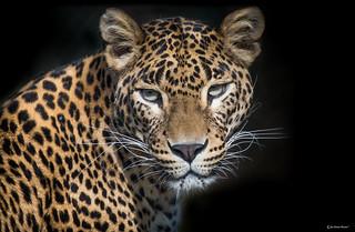 Sri Lankan female leopard (Panthera pardus kotiya)