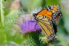 Monarch Butterfly (photo Bee1) Tags: flower horizontal butterfly insect unitedstates feeding thistle lepidoptera rhodeisland middletown 00 invertebrate monarchdanausplexippus sachuestpointnationalwildliferefuge 07people 01animal 05location 03botany photobee1photographer