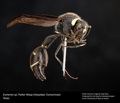 Eumenes (insectsunlocked) Tags: insects wasps hymenoptera vespidae eumeninae focusstack potterwasp