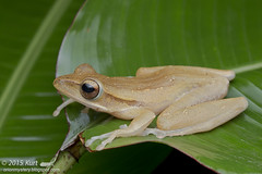 Polypedates leucomystax_MG_5207 copy (Kurt (OrionHerpAdventure.com)) Tags: amphibian frog amphibians amphibia polypedatesleucomystax fourlinedtreefrog