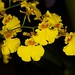Oncidium Sweet Sugar 'Angel' – Alex Nadzan