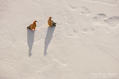 Socotra www.elrincondesele.com (josemiguel_80) Tags: ocean africa nature birds animals islands asia wildlife indianocean unesco worldheritagesite vultures yemen raptors archipelago vertebrates socotra neophronpercnopterus worldheritagearea socotora socotraisland sucotra suqotra galapagosoftheindianocean socitra