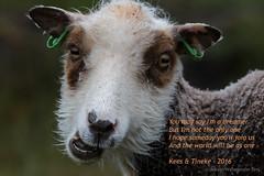 All the best for 2016 (Kees Waterlander) Tags: sheep foula shetlandsheep shettland