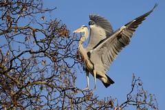 Heron 4 (psnikon) Tags: bird heron animal nikon sigma tier vogel wilhelma reiher nikonphotography d800e nikond800e sigma150600s