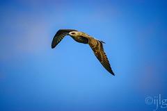 18092016DSC_1052.jpg (Ignacio Javier ( Nacho)) Tags: pginafotografia gaviotas facebook aves flickr faunayflora santander cantabria espaa es