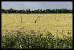 intrusion into the wheat field (TAC.Photography) Tags: wheat wildflower fields farming farmland
