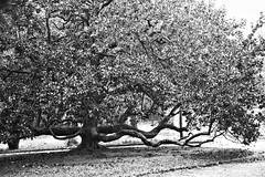 I rami della nostra vita (pinomangione) Tags: pinomangione regiadicaserta paesaggi