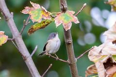 Subalpine Warbler (angus molyneux) Tags: stmarys scilly subalpinewarbler sylviacantillans