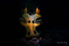 Thecacera sp. (Randi Ang) Tags: pikachu nudibranch nudi seaslug thecacera sp thecacerasp kuanji tulamben bali indonesia underwater scuba diving dive photography macro randi ang canon eos 6d 100mm randiang