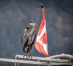 Heron....eh! (Paul Rioux) Tags: avian nature bird greatblueheron heron canadian flag cowichanbay governmentwharf patriotic canada boat marine