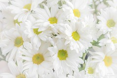Daisy day (maria manuela photography) Tags: soft flowers macro photography photolovers simplicity delicate fragility softness texture seed plant naturephotography garden summer springcolors loveflowers vintage closeup fineart fineartphotography lifestyle