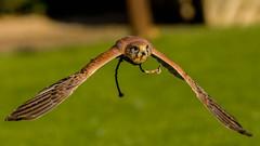 2016-10-04 Thirsk-6429.jpg (Elf Call) Tags: 120300 prey nikon hawk vulture birds owl eagle kookaburra psion d7200 hill
