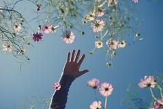 desire (shunkoba) Tags: dmcgm1 olympus microfourthirds cosmos sky pink flower lowangle 25mm