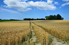 Kornfeld in Friederiken-Vorwerk / Landkreis Friesland (berndwhv) Tags: getreide getreidefeld kornfeld himmel wolken landscape landschap deutschland norddeutschland niedersachsen landkreisfriesland friederikenvorwerk friedrichaugustengroden