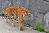 Kaliningrad_Zoo_2011_06_49 (Фото Москвы Moscow-Live.ru) Tags: тигр