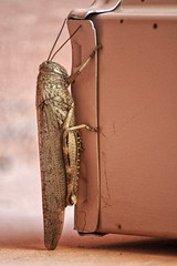 Grasshopper (RagbagPhotography) Tags: insect spain murcia marmenor grasshopper bug challenge 366 365