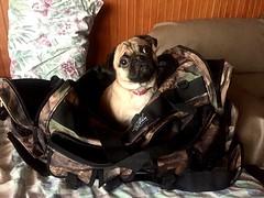 I also will travel with you... Ich werde auch mit dir reisen... (Bernhard WK) Tags: pug noel maleta viaje travel reise mops hund dog perro
