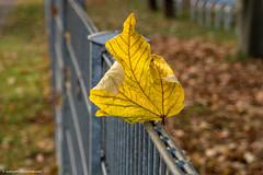 #Fenced Friday - Auf dem Zaun gelandet  HFF!! (J.Weyerhuser) Tags: rheingau stadt hff rathaus mainz zaun fencedfriday
