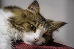 Someone done wrong. ( Little girl blue. ) (miyukiz4 su ood) Tags: cats cat kitten  gttino chaton gatito ktzchen gatinho
