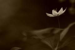 White Star 10 (jttoivonen) Tags: nature macro closeup detail flower plant abstract art monochrome bokeh creativecommons