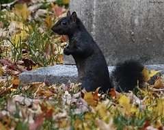 Black Squirrel (Harry Lipson) Tags: squirrel blacksquirrel nature harrylipson harrylipsoniii