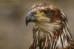 Young Bald Eagle portrait (Bob Kirschke) Tags: alaska fairbanks juneau unitedstates us eagle youngeagle bird bobkirschke birds prey