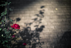 autumn shadow (N.sino) Tags: m9 summilux50mm rose shadow