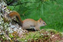 Forest Forager (Vie Lipowski) Tags: squirrel graysquirrel greysquirrel animal forest forestforager wildlife nature