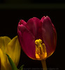 Offene Tulpe Open Tulip (j_vogt) Tags: blume blumen blüte flower flowers frühling spring tulip tulips tulpe tulpen blossom closeup springflowers blütenkelchblatt petal pflanze liliaceae liliengewächse tulipa lilyfamily