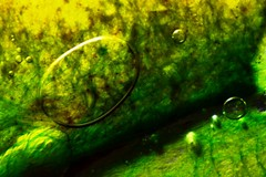 Algae garden : The natures artistry- IX . (biswarupsarkar72) Tags: algae algalgrowth naturesartistry macro abstract abstractphotography nature