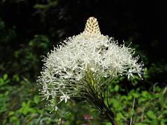 Bear's Grass (Xerophyllum tenax) on  Mount Rainier Hike (Bonnie Ott) Tags: variety abundance mountrainiernationalpark washingtonstate bearsgrass xerophyllumtenax