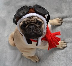 Boo The Aviator Pug (DaPuglet) Tags: pug pugs dog dogs animals pets aviator pilot puppy costume cute funny hat scarf plane airplane lol puppies halloween yearofholidays animal pet alittlebeauty coth fantasticnature coth5 sunrays5