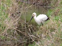 Oriental Stork (jubewakayama) Tags: bird birding birdwatching nature stork orientalstoke